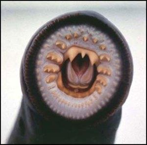 Lamprey-mouth