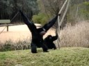 Singing Siamang at Western Plains Zoo